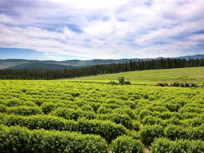 St. Maries Lavender Farm and Distillery – St. Maries, Idaho, USA